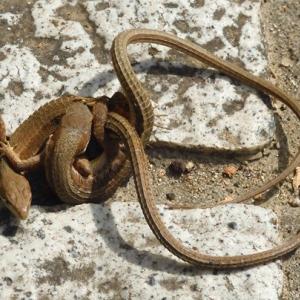 庭のカナヘビ2