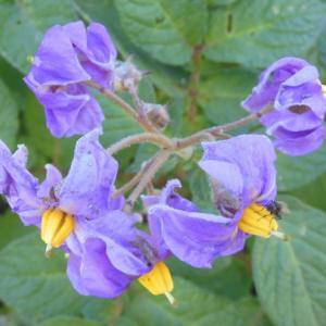 ナス科野菜の花と実
