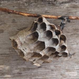 畑のハチの巣、その後