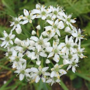 ニラの花に集まる虫たち