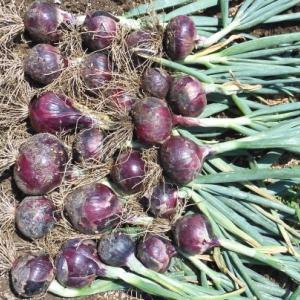 紫玉ねぎ、ラディッシュの収穫