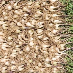 ニンニク、ラッキョウの収穫