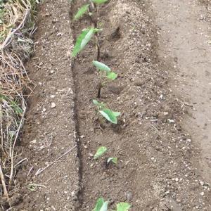 サトイモとショウガの植付け