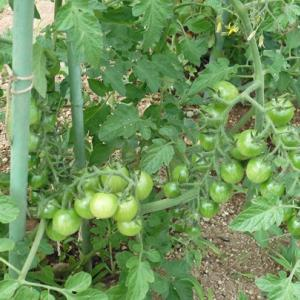 トマトの雨よけ支柱立て