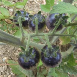 ミニトマト ブルーベリーズ