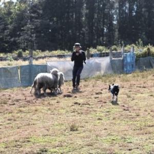 Sheep dog training (3回目)