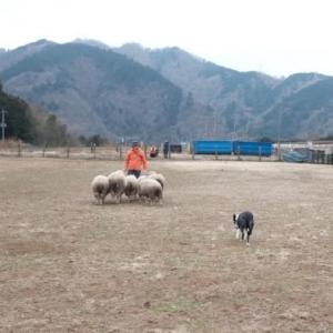Sheep dog training (8回目)
