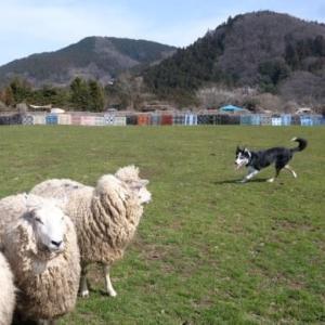 蒼太くんの羊追い