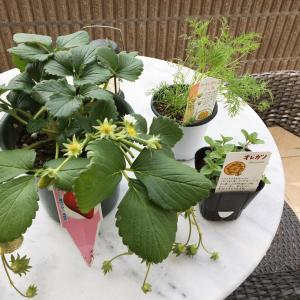 ハーブやイチゴを植えて☘「ハーブのティッシュボックス」