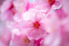 nk-sakura2 いちばん桜PREMIUM(500ml×24本)~沖縄県中城村【ふるさと納税】