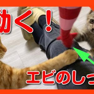 エビのしっぽを味わう猫たち。Cats tasting the tail of shrimp
