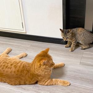 保護15日目 子猫のエル 成長 カーテンでかくれんぼ