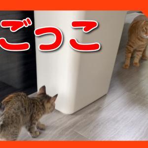 子猫と先住猫の鬼ごっこ!ちょこちょこ走り回る姿がかわいすぎた!Kittens and cats are playing tag.