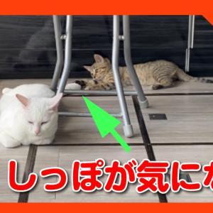 先住猫のしっぽが猫じゃらしに見えて、気になる子猫。カプっとしたら爆ギレされた!A kitten whose tail looks like a toy.