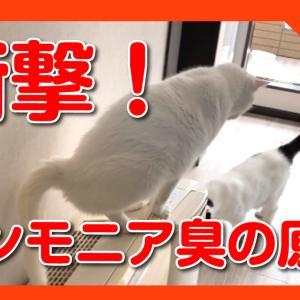 猫のおしっこ臭の原因を突き止めました。衝撃の粗相事実を目撃。