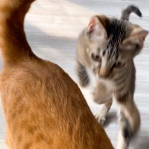 保護猫 子猫のエル 成長記録 生後3ヶ月 華麗なるジャンプ