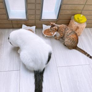 保護猫 子猫のエル 成長記録 生後3ヶ月 【キラと一緒にご飯】