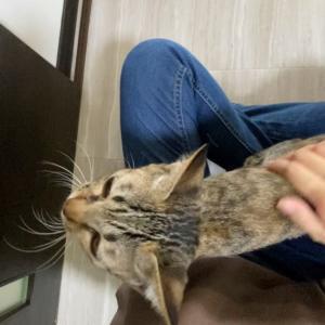 【お膝の上が好きなのニャ】保護猫 子猫のエル 成長記録 生後5ヶ月