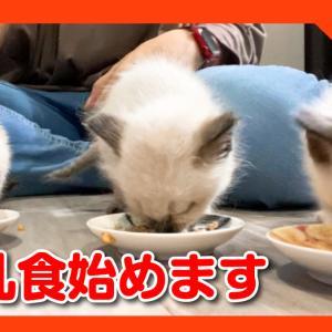 子猫たちが哺乳瓶の乳首を噛みちぎるので、離乳食始めました