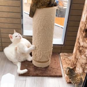 【しっぽが気になる】保護猫 子猫のエル 成長記録 生後5ヶ月