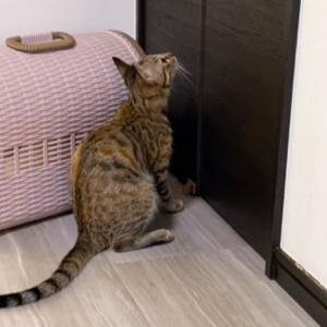 【いきなり走り出す】保護猫 子猫のエル 成長記録 生後5ヶ月