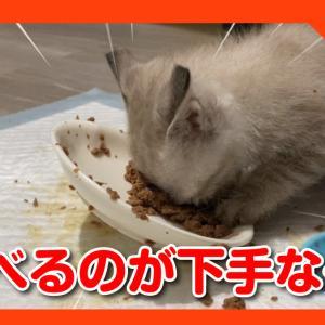 離乳食を食べるのが超絶下手な子猫。