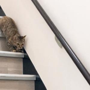 【階段でダイエット】保護猫 子猫のエル 成長記録 生後5ヶ月