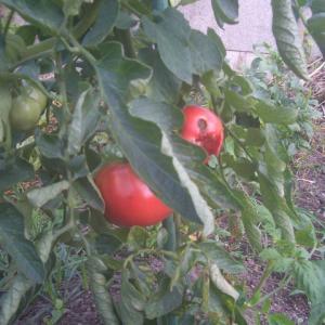 夏野菜の収穫