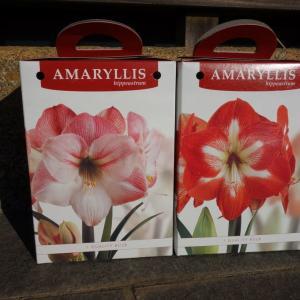 春まで待とうアマリリス
