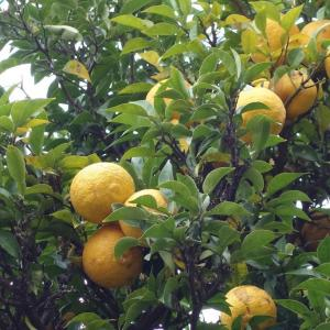 庭の柚子(ゆず)
