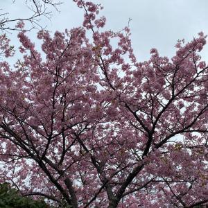 御殿場高原 桜きれーです!