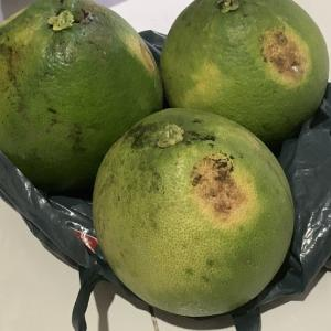 バリ島のジュルックバリの果実は○○だそうです!美味しい(o^^o)&ブルーオパールが入荷困難!