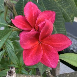バリ島のお花フランジパニが可愛い&宝石質!ハイクォリティのレインボームーンストーンルース
