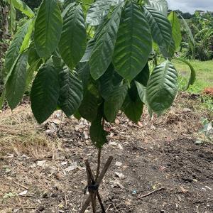 普通は手に入らないコーヒーとカカオの木を戴きました・・・凄いわぁ~