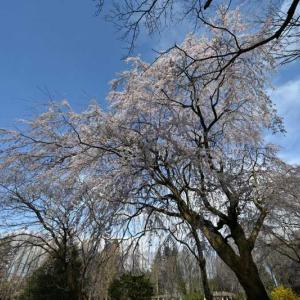 14㎜レンズの桜その1