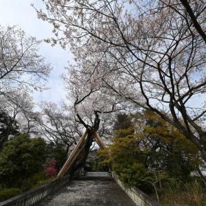 14㎜レンズの桜その2