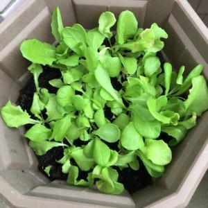 ベランダ菜園にサラダレタスミックスとほうれん草を投入