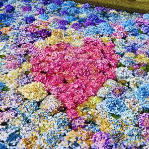 松前町 水に浮くあじさいが涼しげな「浮き紫陽花」は明日まで!