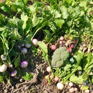今日は農園DAY冬野菜の初収穫