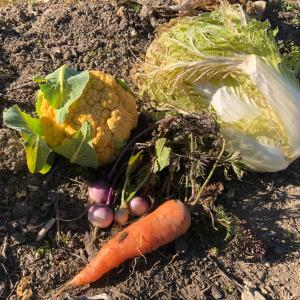 今日の農園と野菜くずが発酵したので堆肥づくりの記録