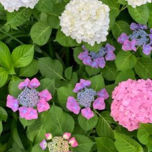紫陽花祭りと美しいデュエットダンス◡̈︎*♚︎‧*˚✩︎‧₊˚