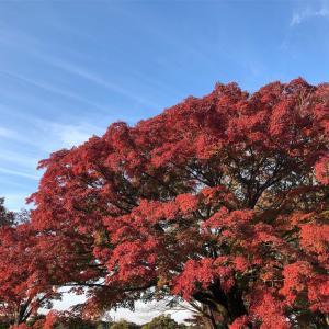 国営昭和記念公園「黄葉・紅葉祭り2018イチョウ並木ライトアップ」に行ってみた感想