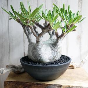 【コーデックス】人気の塊根植物「パキポディウム・グラキリス」を買ってみた感想
