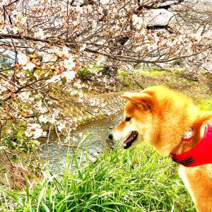 桜を見つけに…♡