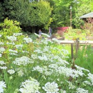池にこうほねの花