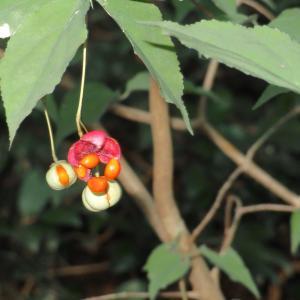 ツリバナと つき抜きの葉