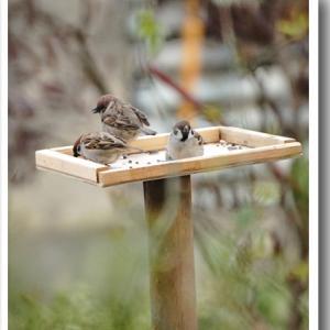 季節の野鳥を諦め雀の餌付け(-_-;)