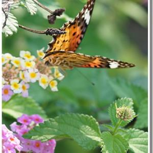蝶が大好きなランタナ