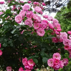 「井頭公園」の薔薇園で・・・Ⅰ