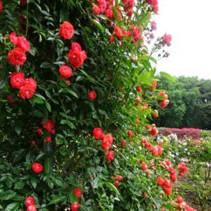 「井頭公園」の薔薇園で・・・Ⅱ